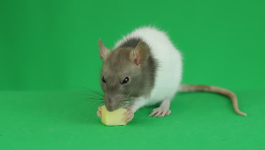 Rat eating cheese	on a green screen | Shutterstock HD Video #19597939