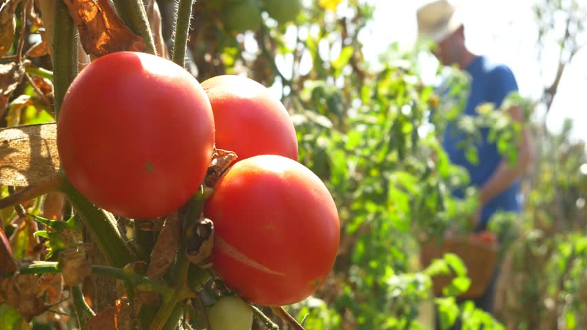 Gardener Picking Tomato In Vegetable Garden Farmer Harvesting Of Tomatoes organic 4k ecological chemical free farming no GMO non genetically modified vegetables mature red | Shutterstock HD Video #19740940