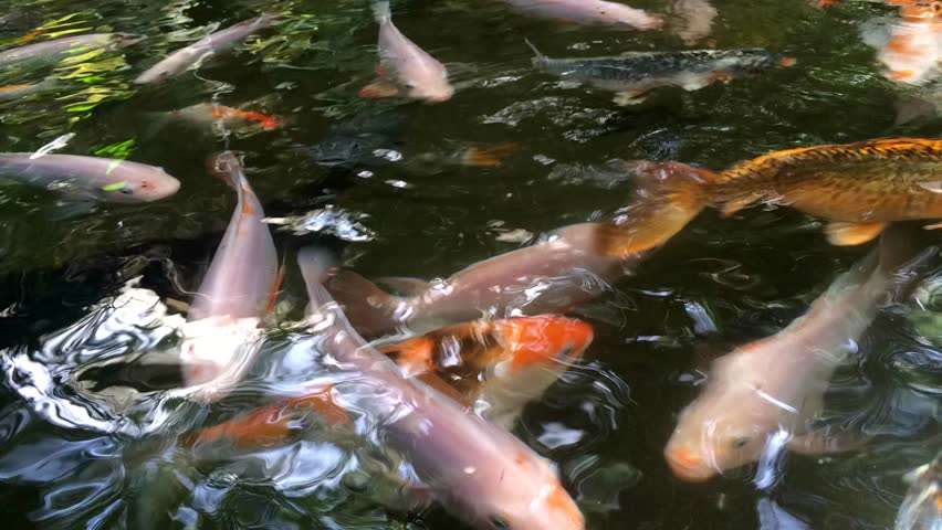 Beautiful Golden Koi Fish In The Fish Ponds Stock Footage Video 2833441 Shutterstock