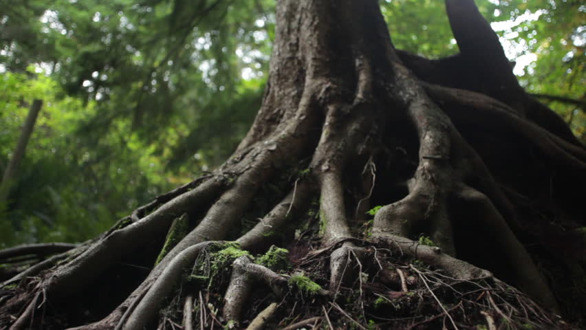 Moving Shot of Tree Roots in a Vancouver Forest