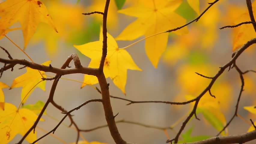 Autumn leaves blow in breeze in Boston, MA