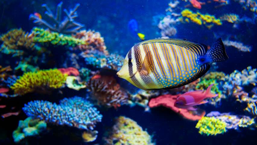 Colorful aquarium, beautiful parrot fish swimming in ocean corals. Slow motion 4K footage