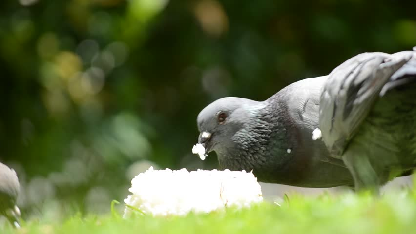 A pigeon feeding on a pile of rice | Shutterstock HD Video #2049119