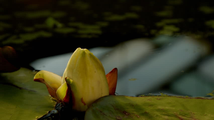 Time lapse opening of water lily flower  | Shutterstock HD Video #2062646