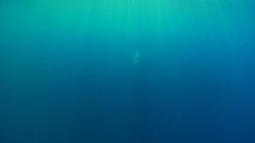 Wild Baleen Whale swimming underwater