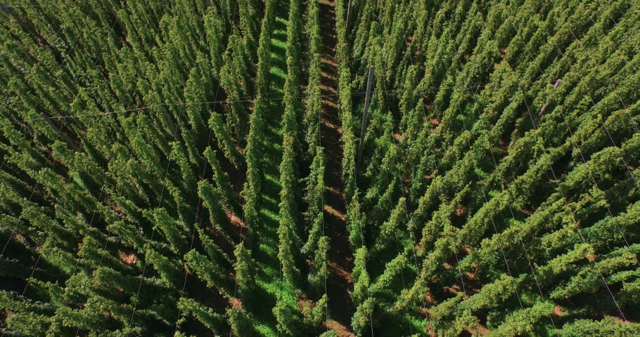 aerial shot looking down at a huge hops field in Germany