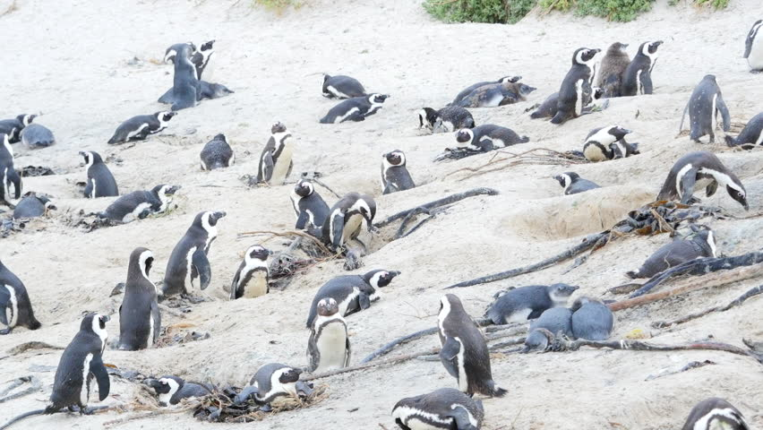 Header of African penguin