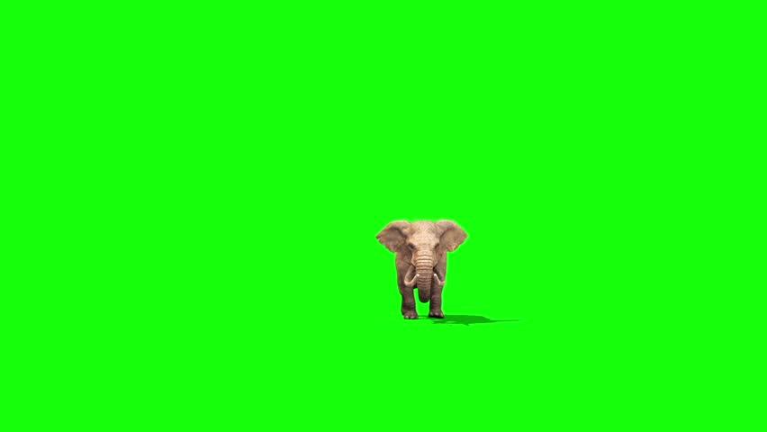 Elephant Walks Front Green Screen