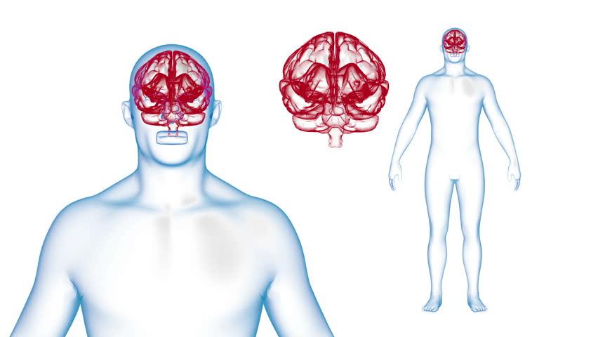Human Body Brain X-ray effects Loop Rotation. 3d render