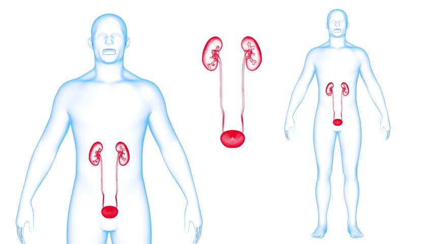 Human Body Kidneys X-ray effects Loop Rotation. 3d render