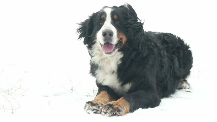 Dog lying on snow   Shutterstock HD Video #23043124
