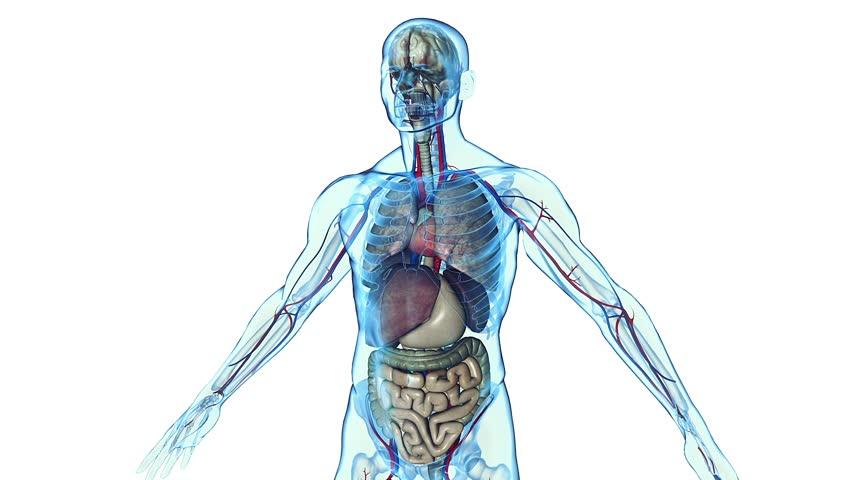 Human body and internal organs in loop rotation