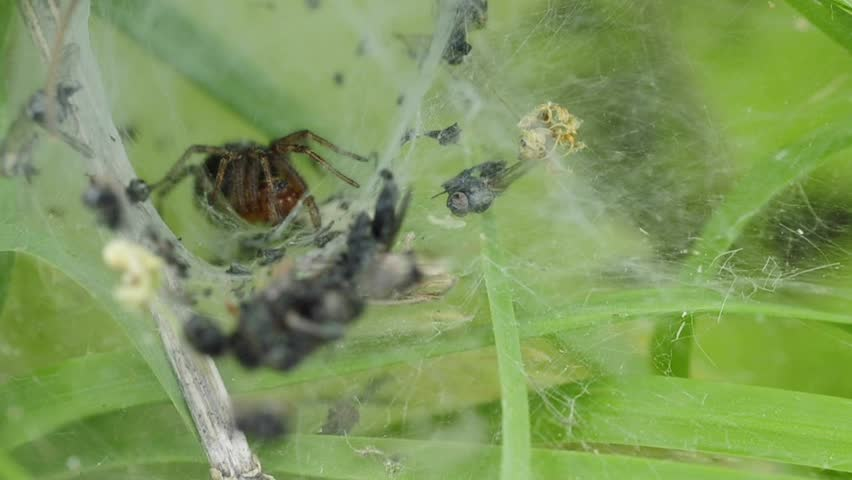 Header of Agelena labyrinthica