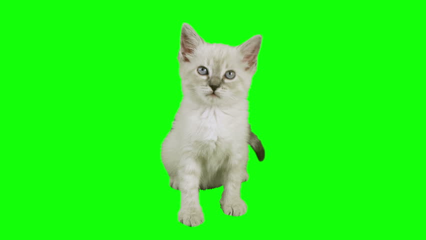 Cat Sitting Green Screen (HD)  Siamese one month old kitten shot against green screen in a sitting position. Use your favorite green screen knock application and use anywhere.