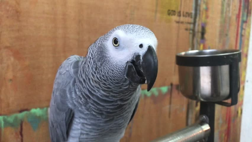Header of African gray