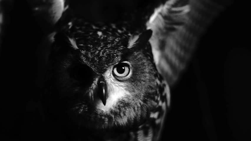 Super slowmotion of owl flapping its wings in the night. Black and white shot. Fear. | Shutterstock HD Video #23766562