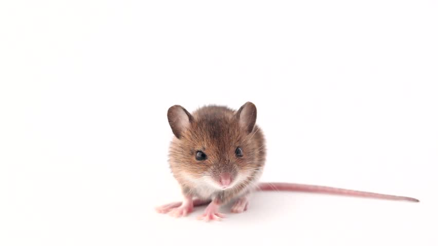 cute little mouse on a white background
