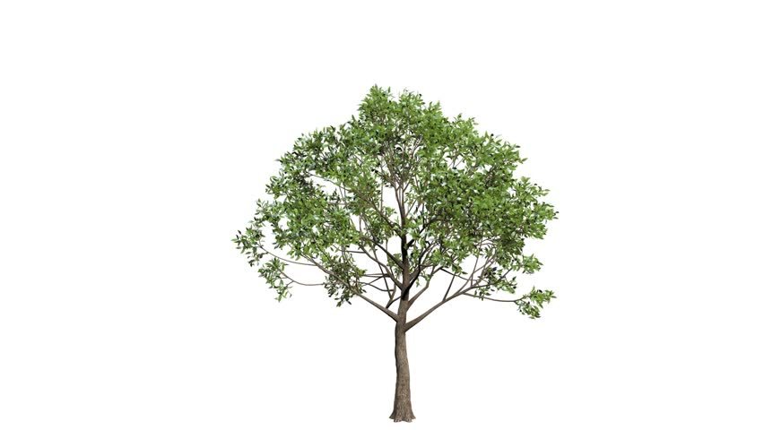 Looping 3D realistic tree isolated on white with alpha channel to be used for architecture visualization or motion graphics or any other video.