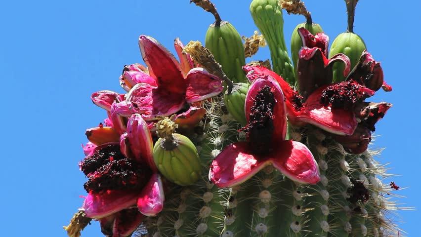 saguaro fruit edible fruit