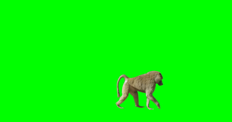 Green screen shot of a monkey crossing the frame from left to right.