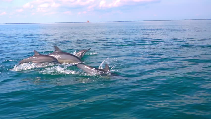 Several Spinner Dolphins swimming fast, porpoising, jumping out of water, hunting tuna. Beautiful and intelligent marine animals chasing fish during morning hunt. Sri Lanka. Side view. Slow motion.