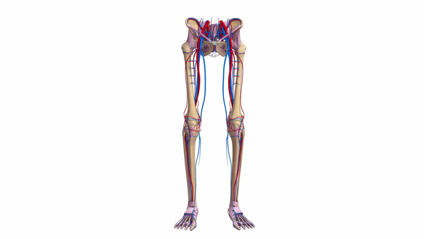animation showing the human muscle system stock footage video, Muscles