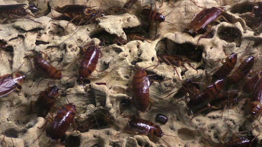 Header of American cockroach