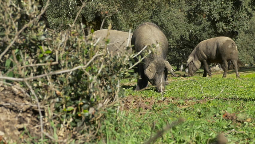 Black Iberian Pigs slow motion eating acorns in the Sierra de Aracena, Spain