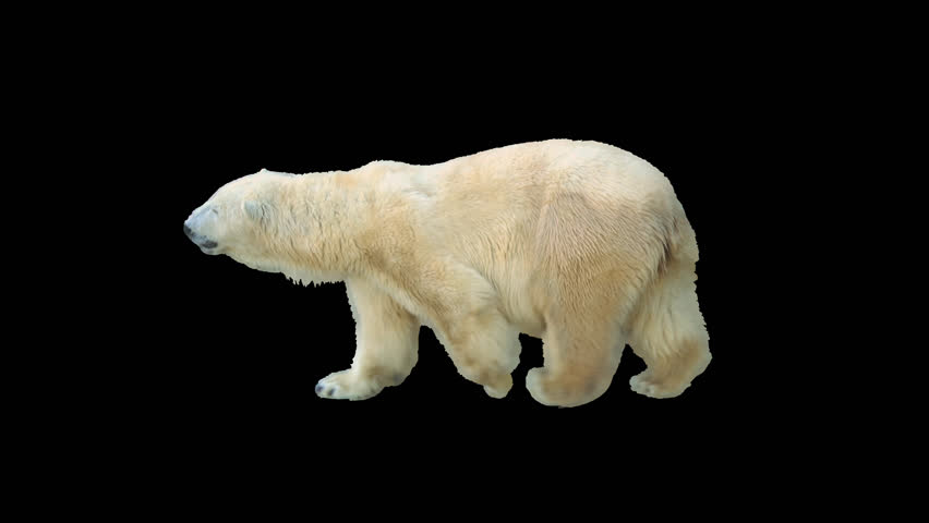 Polar bear walking seamlessly looped on black screen, real shot, isolated on alpha channel premultiplied with black and white luminance matte, perfect for digital composition, cinema, 3d mapping