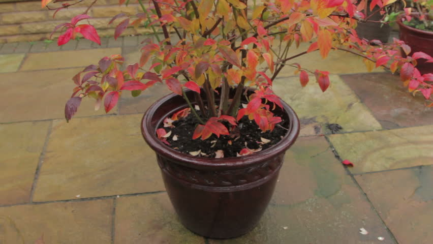 Blueberry Bush In Lovely Fall Colors In A Container On A House Patio   HD  Stock