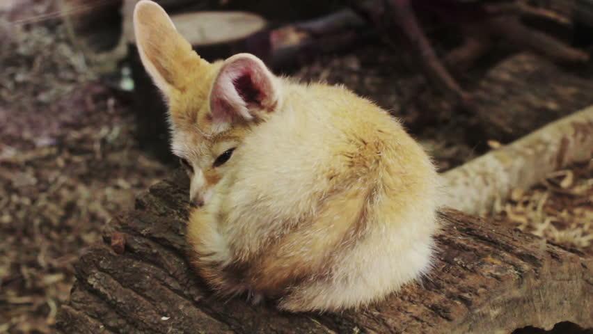 Header of Fennec Fox