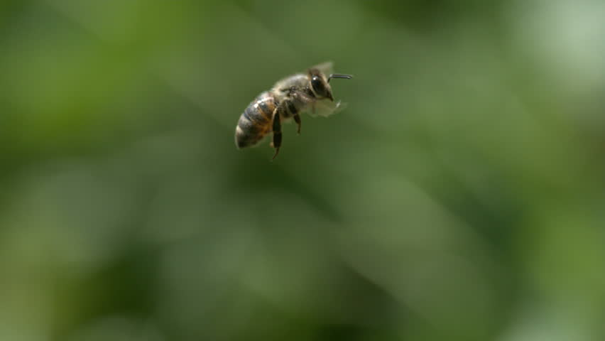 Slow Motion Bee Flying