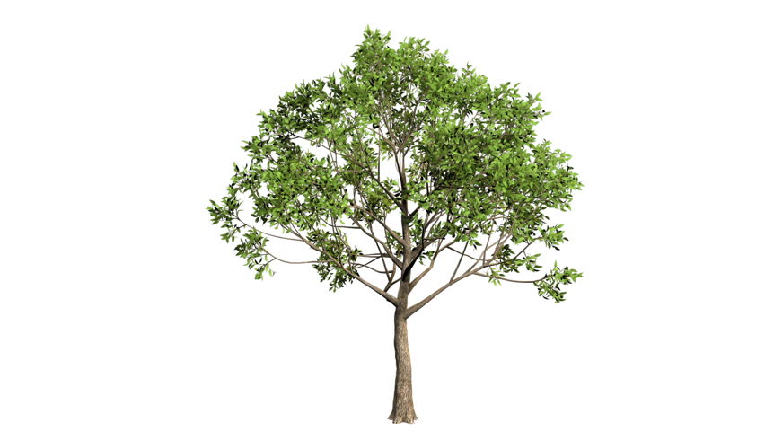 3D realistic tree isolated on white with alpha channel to be used for architecture visualization or motion graphics or any other video.