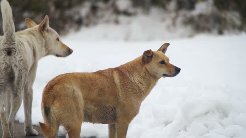 Stray Dogs on a Snowy Street in Winter. Slow Motion in 96 fps. The dog has no owners and a roof over the head. Street dogs or homeless dogs | Shutterstock HD Video #26339558