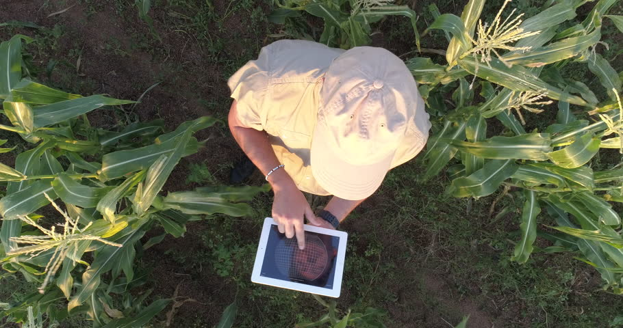 4K aerial view directly above a farmer monitoring his corn crop with a tablet
