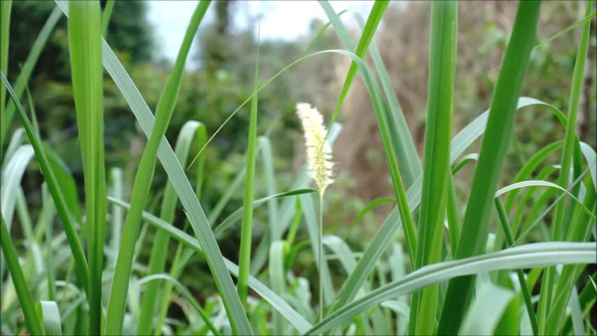 possibility of cogon grass as lice Possibility of cogon grass as lice solution essaycylindrica) as head lice solution background and theoretical framework of the study: cogon grass (imperata cylindrica), family poaceae, is an invasive, rhizomatous, aggressive perennial grass.