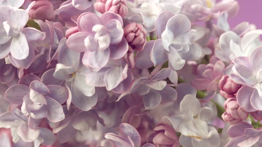 Lilac flowers bunch background. Beautiful opening violet Lilac flower Easter design closeup. Beauty fragrant tiny flowers open closeup. 4K UHD video 3840X2160 | Shutterstock Video #26568719