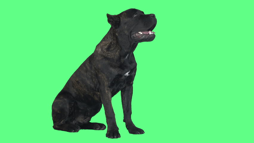 Cane Corso dog sitting on a green background | Shutterstock HD Video #26635081
