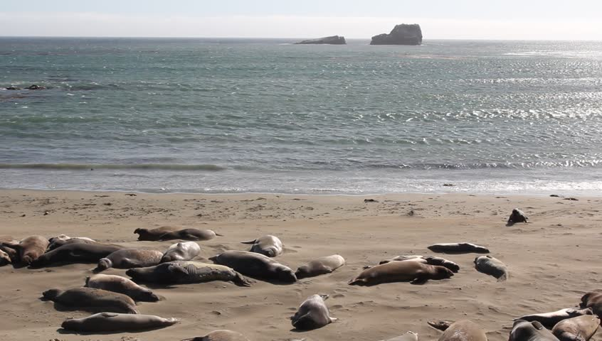 elephant seals at the piedras blancas rookery which is home to