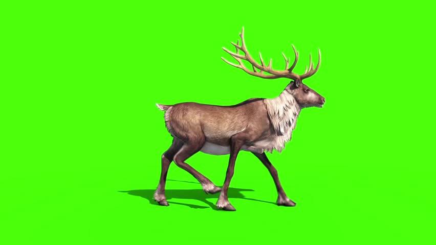 Animal Reindeer Walkcycle Side Green Screen 3D Rendering Animation