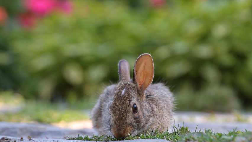 Young rabbit eating grass in the garden | Shutterstock HD Video #2724620