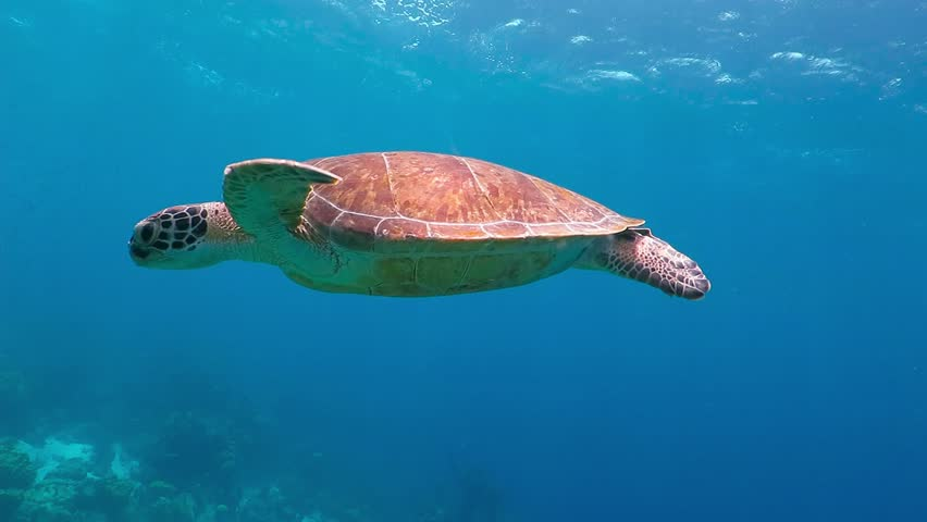 Swimming cute turtle in the blue ocean. Underwater scuba diving with sea turtle. Exotic island vacation with snorkeling. Wildlife on the tropical coral reef. | Shutterstock Video #27694309