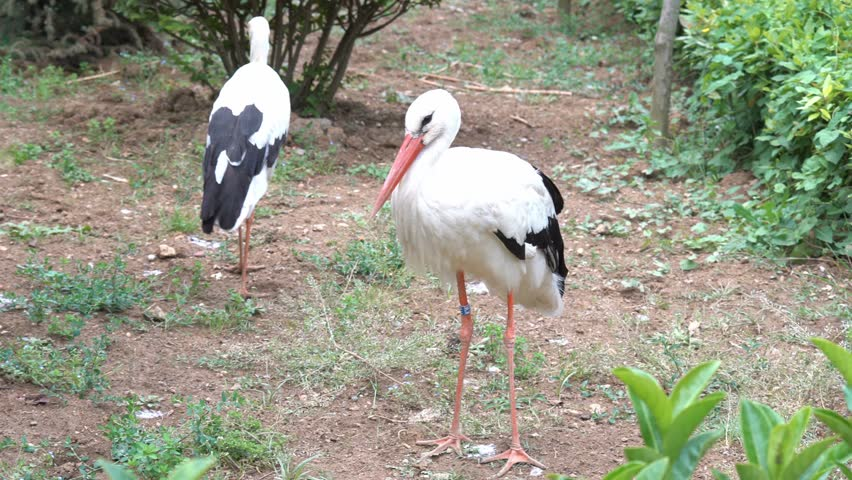hunting the european stork with the Mystery bird: oriental stork, ciconia due to zealous hunting and habitat than the european white stork oriental stork has red skin around its straw.