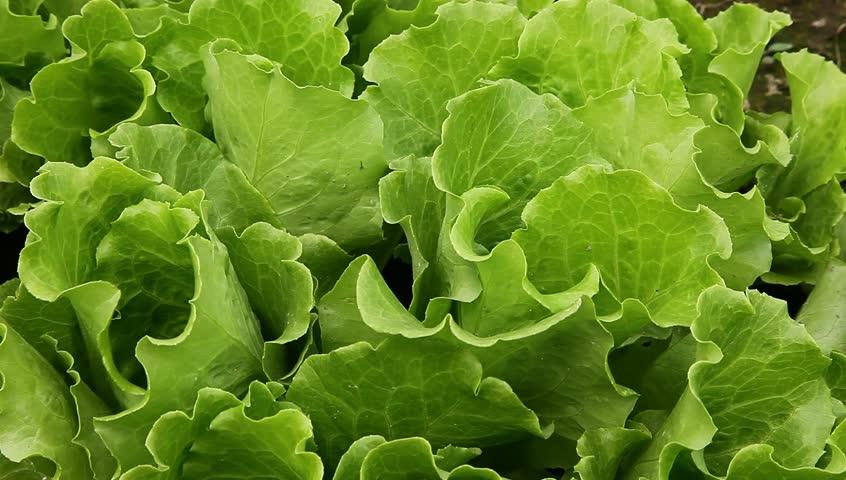 Lettuce growing in the farmland under wind | Shutterstock HD Video #2803213