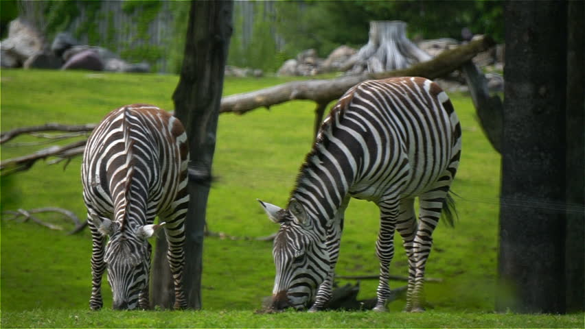 Slow Motion Footage of Beautiful Zebras Eating Grass  | Shutterstock HD Video #28978372