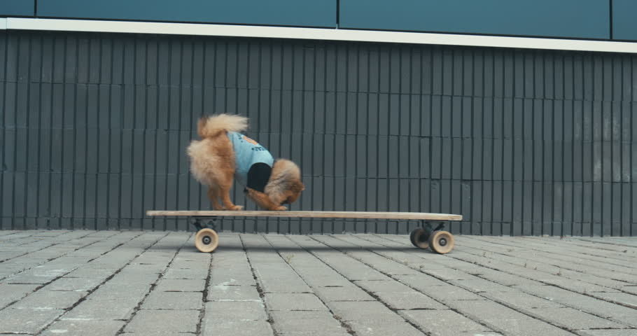 Funny cute Pomeranian Spitz dog puppy riding on a longboard skateboard outdoors. 4K UHD RAW edited footage | Shutterstock Video #29068489