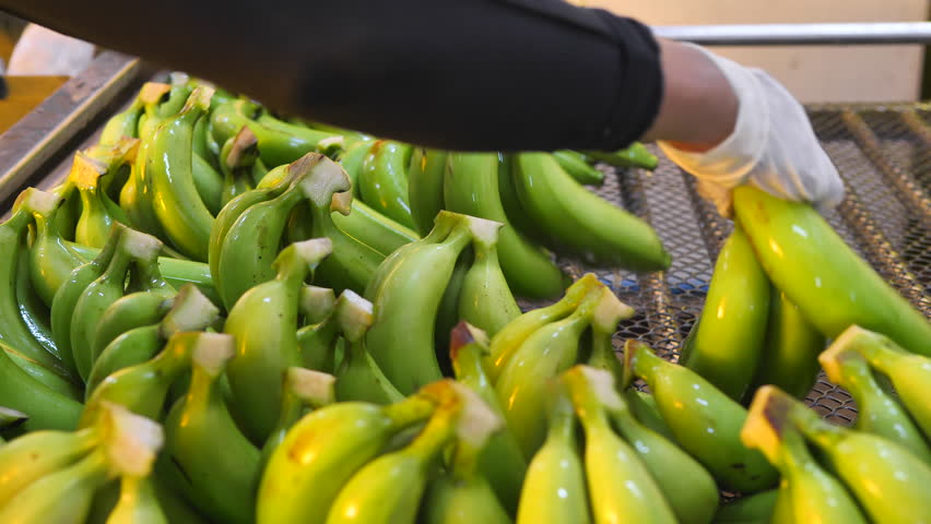 Advertise, Best fruit, Health, Business concept - Washed and beautiful Banana arraged during harvest and packing process.   Shutterstock HD Video #29655856