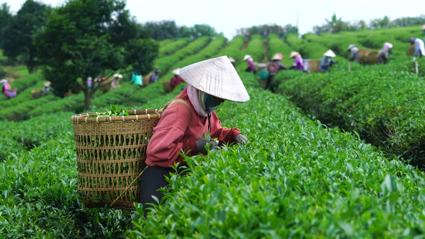 tea industry in vietnam Welcome to the indian tea association founded in 1881, the indian tea association is the premier and the oldest organization of tea producers in india.