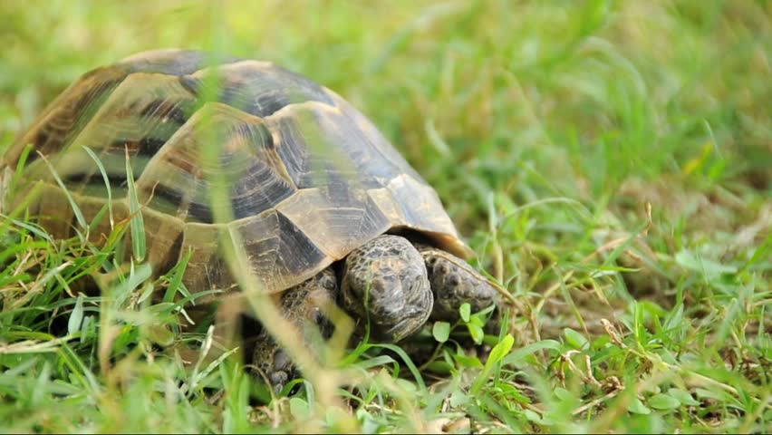 spur thighed turtle eating stock footage video 2996131