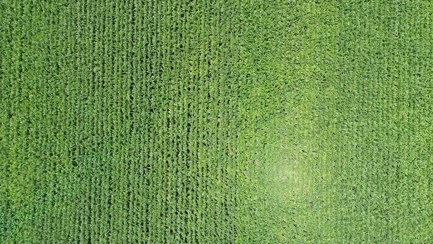 4k Aerial Drone flight over corn plant field | Shutterstock HD Video #30678025